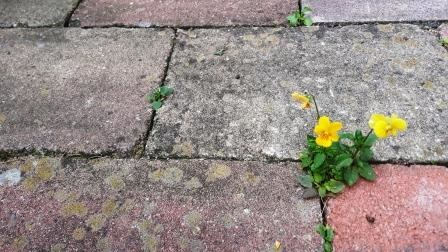 Bloeiend plantje in de voeg van een tegelvloer