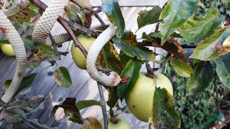 Een slang in een appelboom.