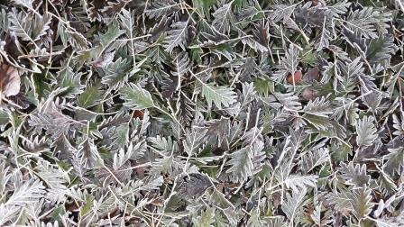 Blaadjes met een frostrandje leveren een mooi patroon op.