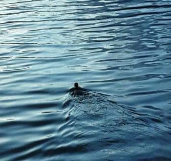 Een meerkoet zwemt weg in donker water waar de zon op reflecteert.